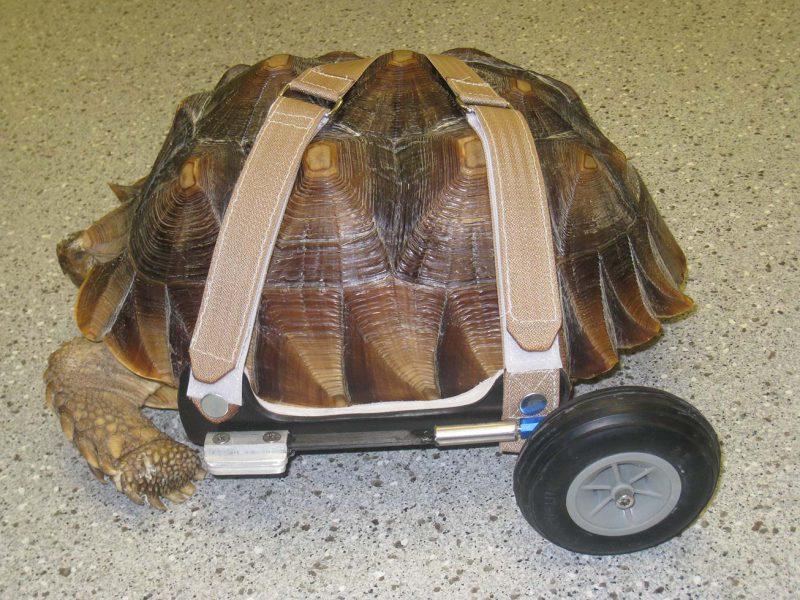 Chuck Norris the Tortoise